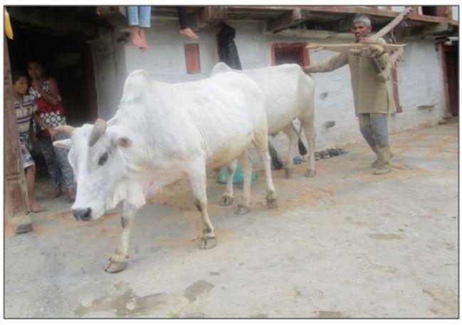 Farmer with pair of bullocks returning from field