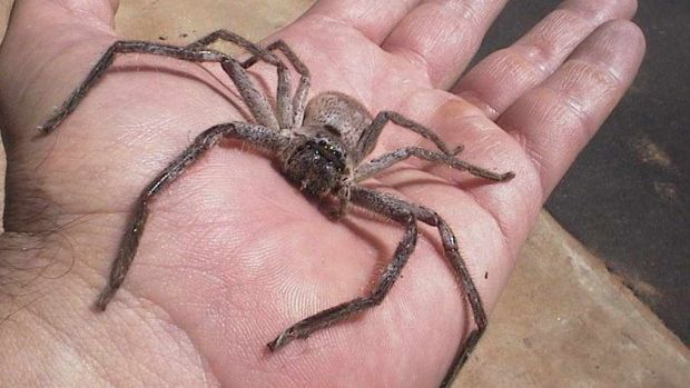 Image result for huntsman spider perth