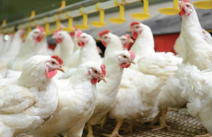 Image result for chicken production