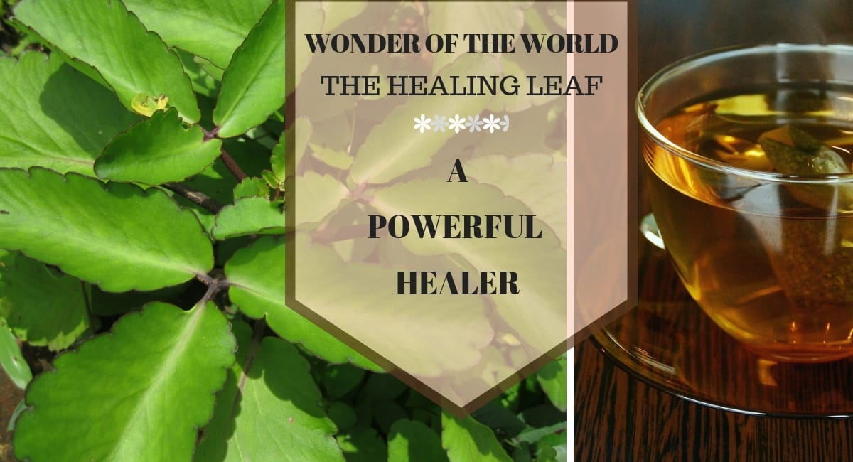 Wonder of The World/Leaf of Life Plant – The Wonder Healer