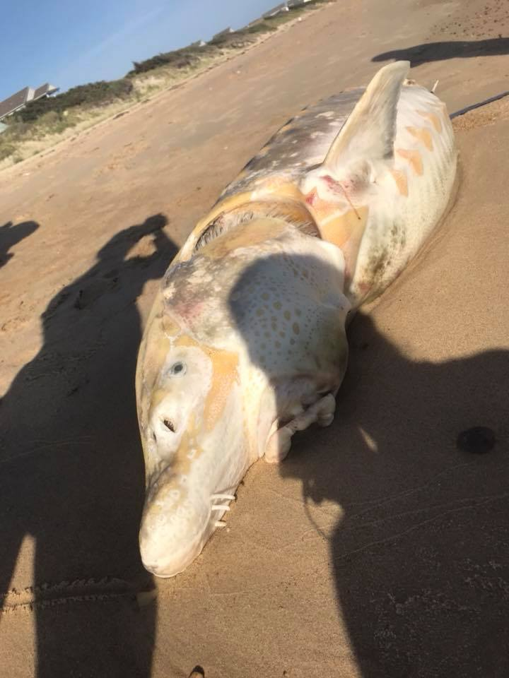 norf strugeon fish (4)_1531672204821.jpg.jpg