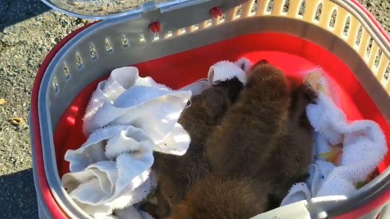 baby raccoon_1555332136986.JPG-873703987.jpg