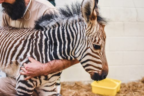 NORF Zoo Baby Zebra 3_1557933050042.jpg.jpg
