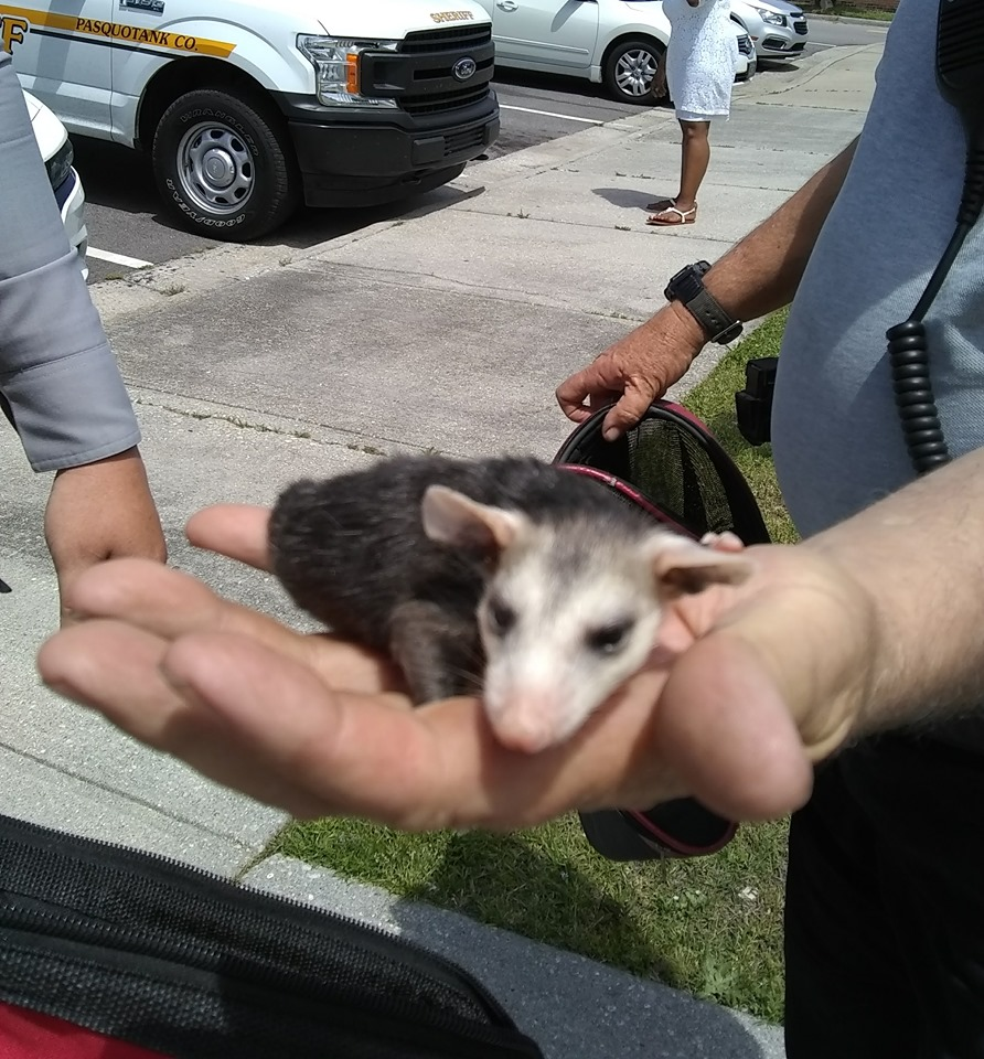 Trooper helps save opossums in Pasquotank County