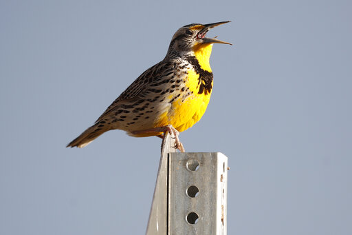 Western meadowlark, rocky mountain arsenal wildlife refuge, western meadowlark