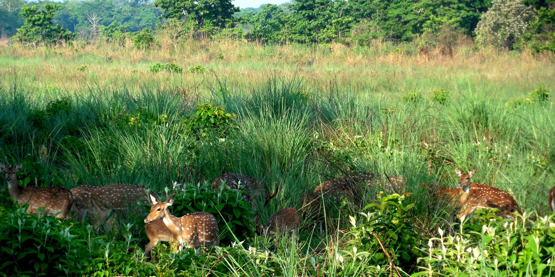 Herd of Chital (spotted deer).