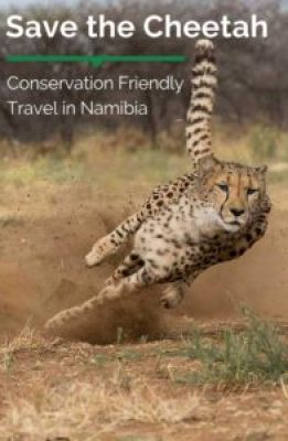 Cheetah conservation in Namibia is being driven by the great programs of Cheetah Conservation Fund Namibia, located by the Waterberg Plataeau