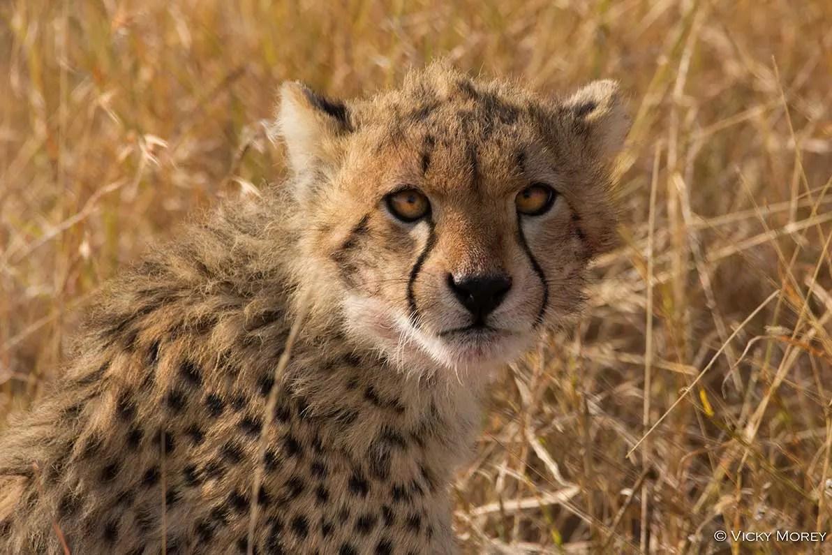 Cheetah Cub Cheetah Conservation