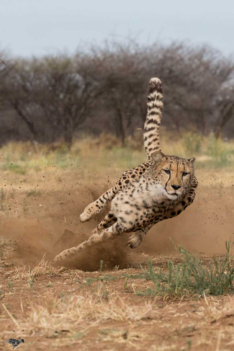 Cheetah at Speed Peter Scheufler/CCF