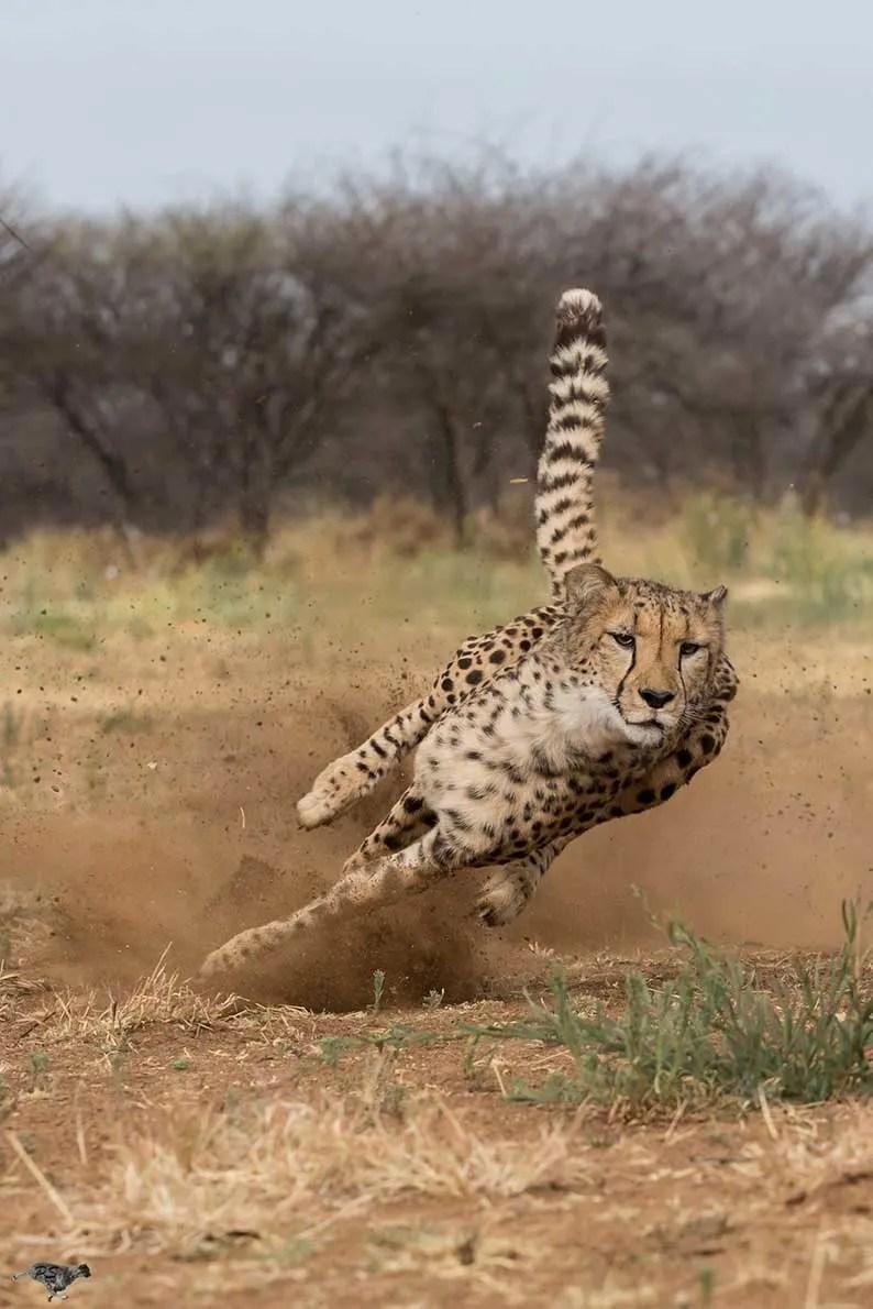 Cheetah at Speed Peter Scheufler/CCF