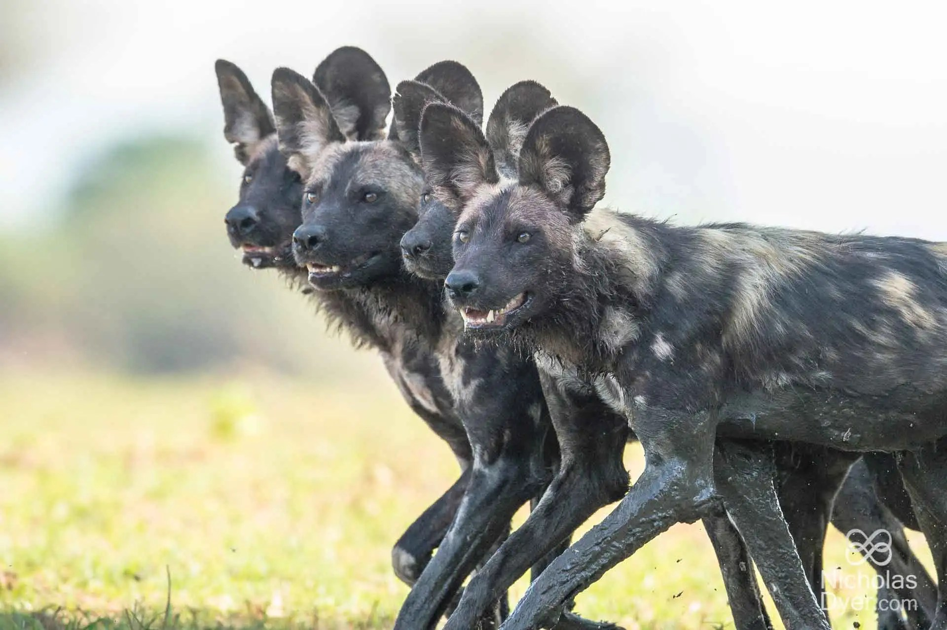 African Painted Dog pack in Hwange National Park