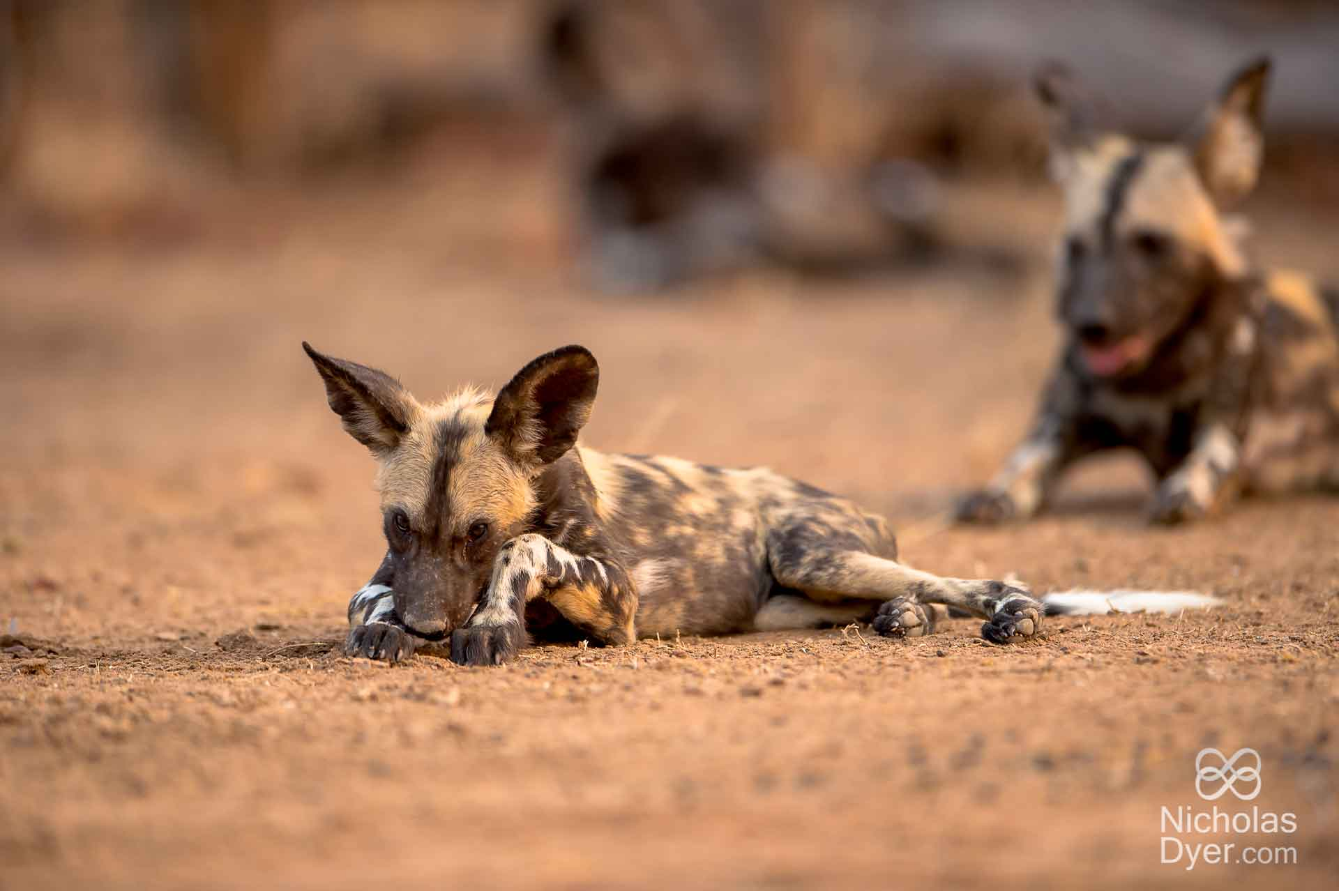 African Painted Dog pup