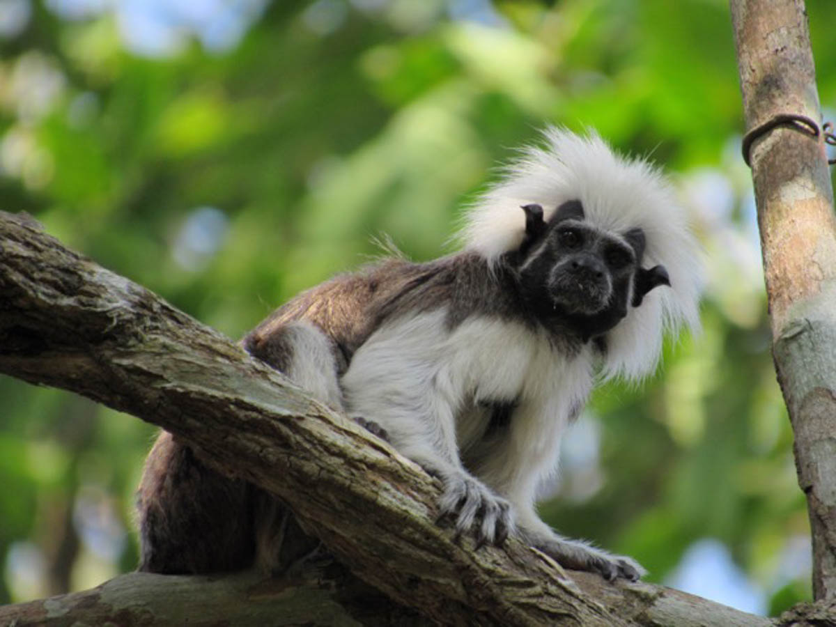 Cotton-Top Tamarin Travel in Colombia