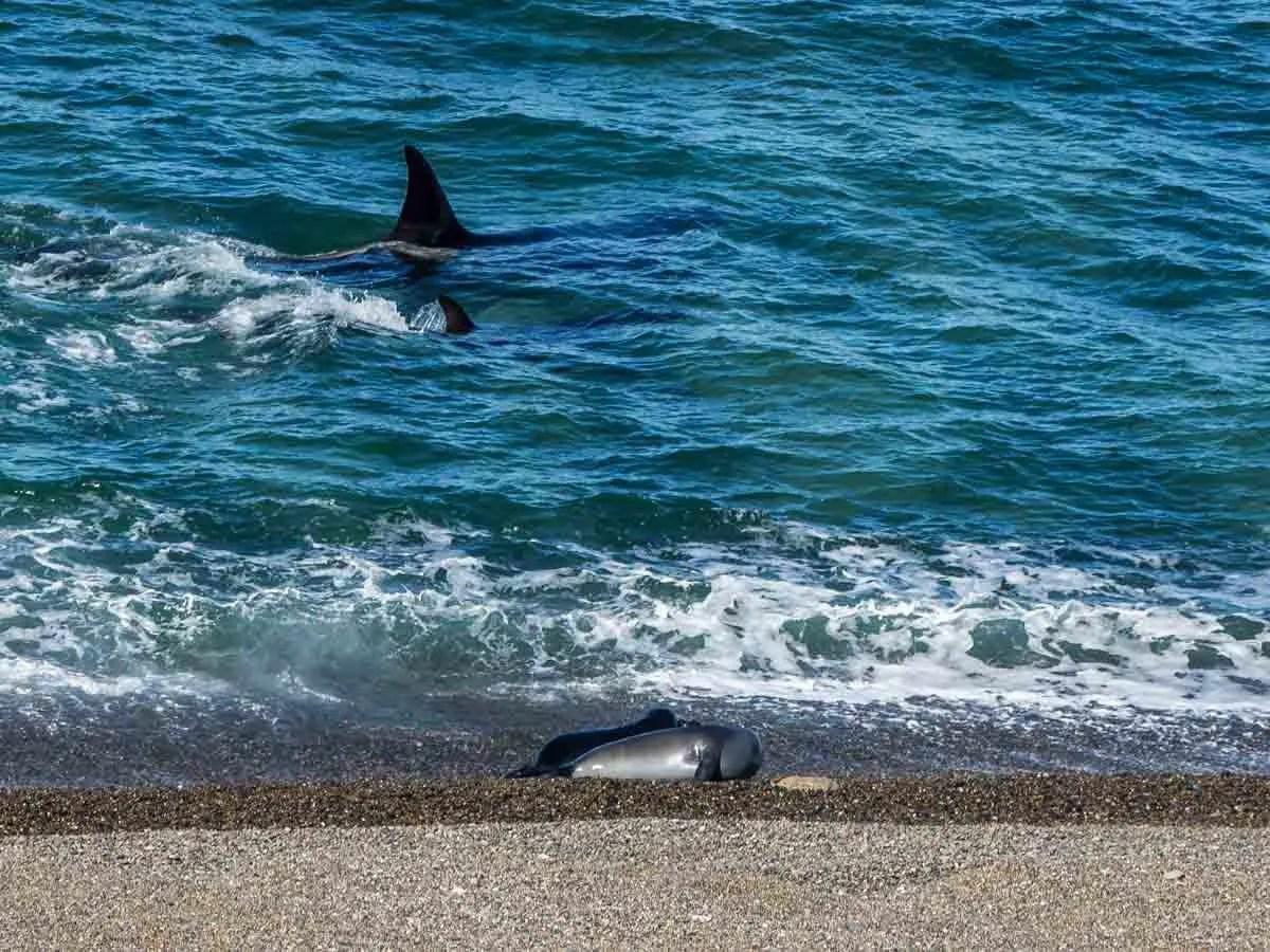 Peninsula Valdes Orca whales hunting
