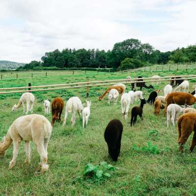 An Alpaca Farm in the Cotswolds