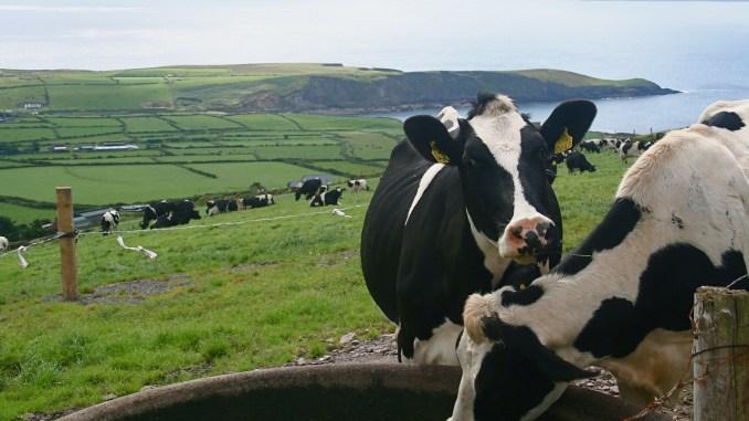 Cow milk casein