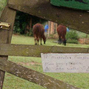 Non, il ne faut pas déranger les lamas le mercredi.