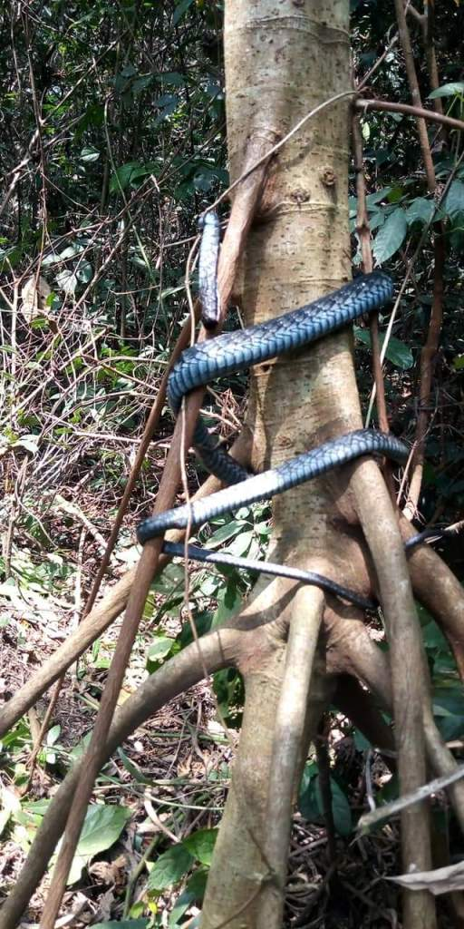 Proud Rivers Man Kills Long Dangerous Snake in the Forest