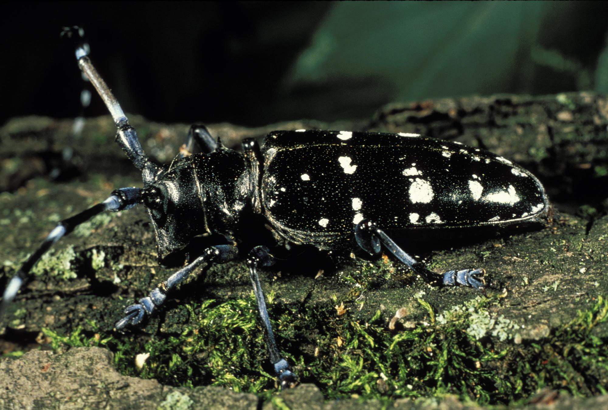 asian longhorned beetle_1516033692168.jpg-794306118.jpg