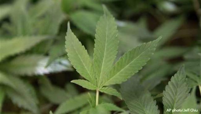 generic marijuana plant generic medical marijuana_1522353734075.jpg-873702558.jpg
