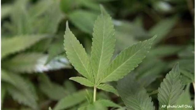 marijuana-generic 3_1522353734075.jpg_38639548_ver1.0_640_360_1529580820538.jpg.jpg