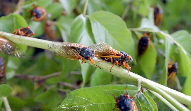 Cicada Swarm_1556815608901
