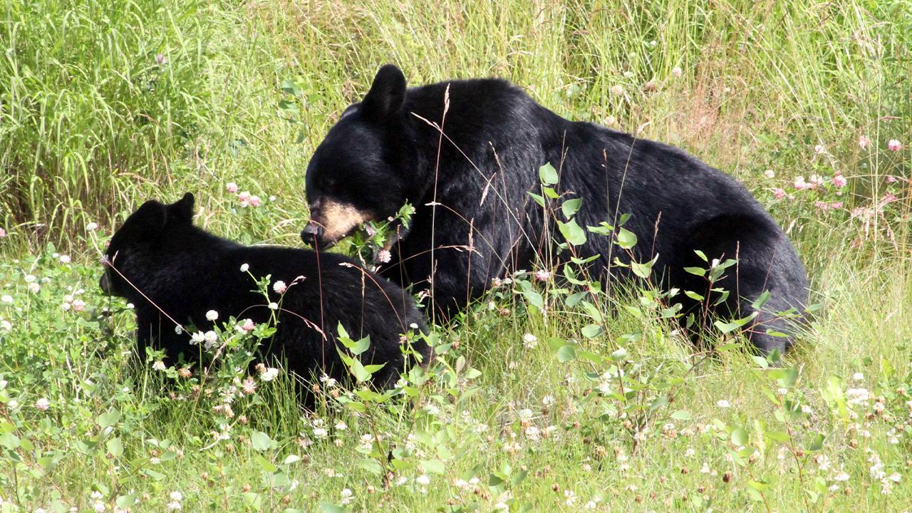 black bears generic-846652698-846652698