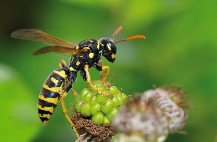 Juckende Insektenstiche homöopathisch behandeln. Bei Stichen von Wespen oder Hornissen ist Vespa crabro das Mittel der Wahl.