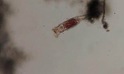 0rotifer microscope image.jpg