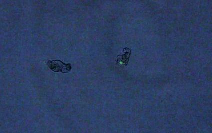 0tagged rotifers.jpg