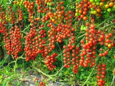 High Yield Tomato Variety