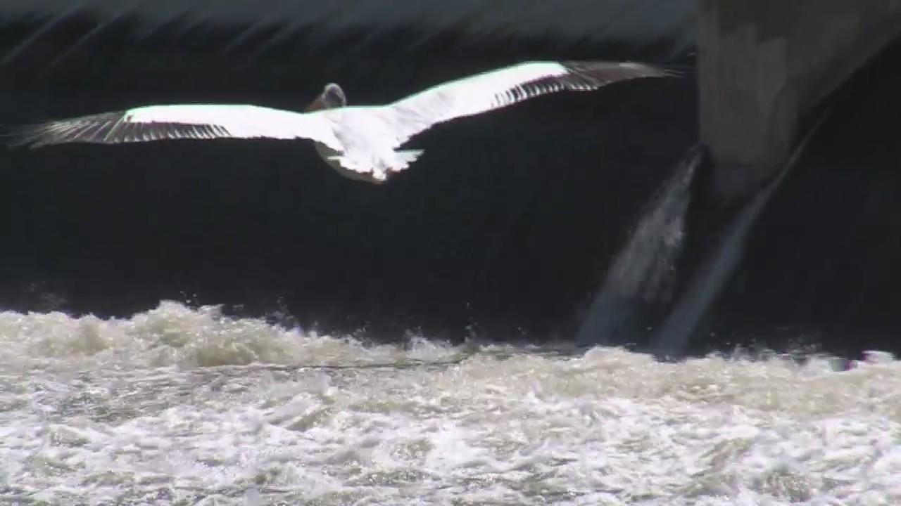 Pelicans in Northeast Wisconsin