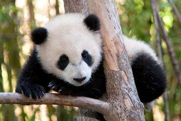 ¡Panda_en_peligro_de_extinción!
