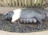 mummy-pig