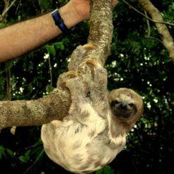 Amazone luiaards spotten