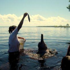 Amazone roze dolfijnen