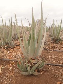 Aloe Vera Plantage