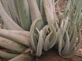 Baby aloe vera planten curacao