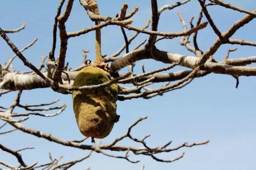 Baobab eten gambia