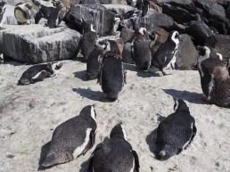 Penguin Boulders Beach