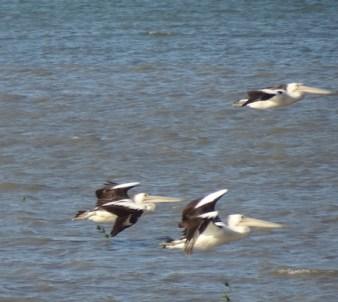 Dieren in Australie pelikanen