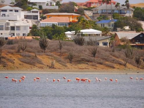 Flamingo's bij Jan thiel zoutpanne curacao