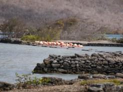 Flamingo's op Curacao