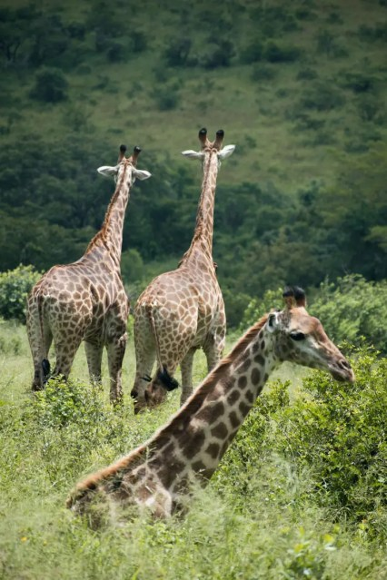 Hluhluwe zuid afrika giraffen