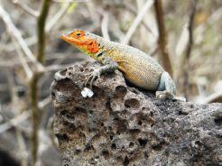 Iguana, Tortuga Bay, Santa Cruz
