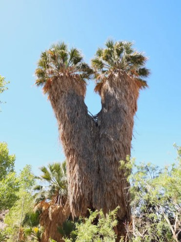 Joshua tree np oase bomen