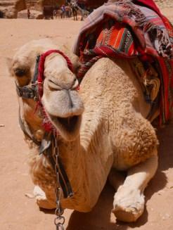 Kamelen kijken in Petra