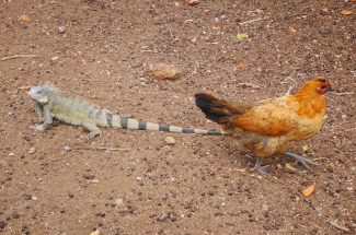 Kip en hagedis bij Struisvogel farm curacao