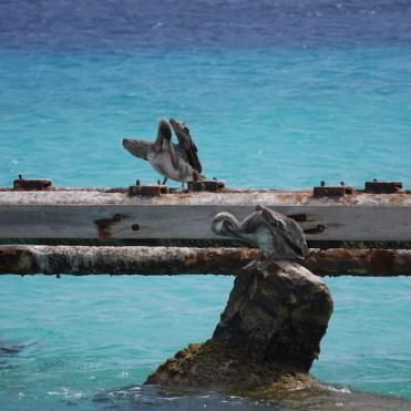 Klein Curacao pelikanen