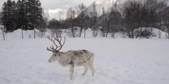 Noorwegen rendieren sami